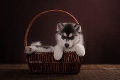 Bambino di un mese del cucciolo del cane del husky in un canestro Fotografia Stock Libera da Diritti