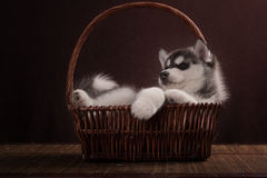 Bambino di un mese del cucciolo del cane del husky in un canestro Fotografie Stock