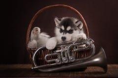 Bambino di un mese del cucciolo del cane del husky in un canestro Fotografia Stock