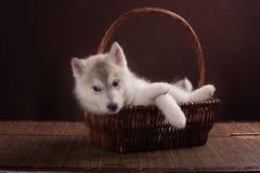 Bambino di un mese del cucciolo del cane del husky in un canestro Fotografie Stock Libere da Diritti