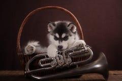 Bambino di un mese del cucciolo del cane del husky in un canestro Immagini Stock Libere da Diritti