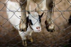 Bambino divertente della capra Fotografie Stock Libere da Diritti