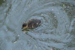 Bambino Duck Swimming In The Water Fotografia Stock Libera da Diritti