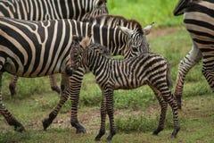 Bambino e madre africani della zebra Fotografie Stock Libere da Diritti