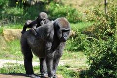 Bambino e madre della gorilla Fotografie Stock