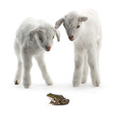 Bambino e rana della capra Immagine Stock