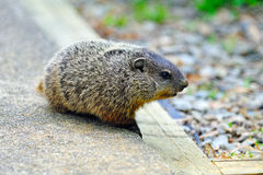 Bambino Groundhog fotografie stock