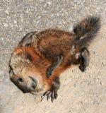 Bambino Groundhog con un prurito fotografia stock