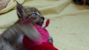 Bambino Lynx che gioca con il giocattolo stock footage