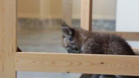 Bambino Lynx che gioca e che salta video d archivio