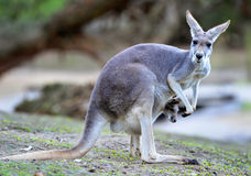Bambino o joey grigio australiano del canguro in sacchetto Fotografia Stock