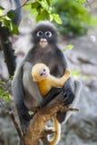 Bambino oscuro della scimmia della foglia Immagine Stock