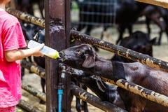 Bambino per preparazione a base di latte con le pecore Immagini Stock Libere da Diritti