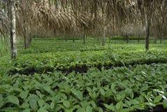 Bambino plants-2 del caffè Fotografia Stock