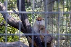 Bambino proteggente della scimmia Immagini Stock Libere da Diritti