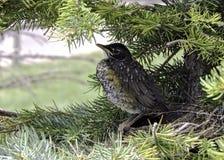 Bambino Robin in un nido Fotografia Stock
