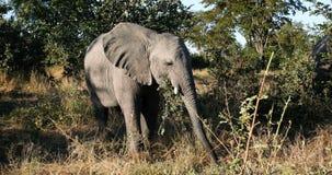 Bambino selvaggio dell'elefante africano nel Botswana, Africa stock footage