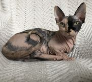 Sphynx royalty free stock images