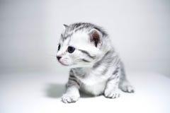 Bambino a strisce del gattino con un colore d'argento Immagini Stock