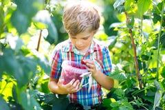Bambino sveglio che seleziona le bacche fresche sul giacimento del lampone Alimento sano della scelta del bambino sull'azienda ag fotografia stock