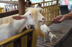 Bambino sveglio della capra in azienda agricola, azienda agricola di concetto, animale, viaggio Tailandia Immagine Stock Libera da Diritti