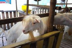 Bambino sveglio della capra in azienda agricola, azienda agricola di concetto, animale, viaggio Tailandia Immagine Stock