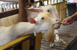 Bambino sveglio della capra in azienda agricola, azienda agricola di concetto, animale, viaggio Tailandia fotografia stock