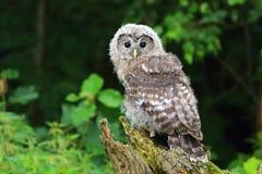 Bambino Tawny Owl Fotografie Stock