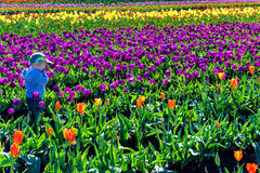 Bambino in Tulip Field Immagine Stock
