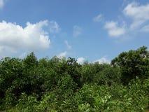 Nature tree sky. Bambo tree clean sky Royalty Free Stock Photos