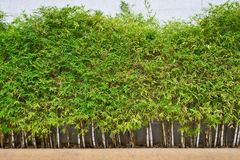 Bamboe. Stock Foto's