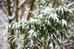 Bamboe in de sneeuw Stock Foto