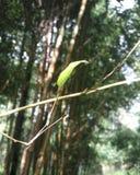 bamboe in de zonneschijn Stock Afbeelding