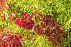 Bamboe en wilde de herfstkleuren van druivenbladeren Royalty-vrije Stock Fotografie