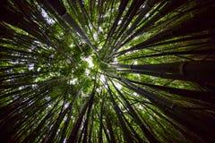 Bamboe Forest Canopy Wide, Fisheye Stock Foto