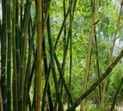 Bamboe Forrest Stock Afbeelding