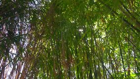 Bamboe Groen Bos in China stock footage