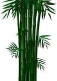 Bamboe Groen in de Lente en de Herfst op Witte Achtergrond Stock Fotografie