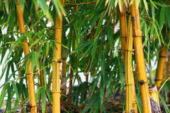 Bamboe het groeien - natuurlijke geel Stock Foto's