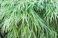 Bamboebladeren in dicht, groen Stock Foto's