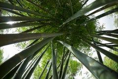 Bamboebomen die omhoog eruit zien royalty-vrije stock afbeelding