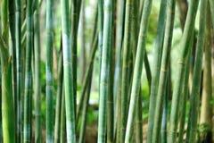 Bamboebomen in tuin stock afbeeldingen