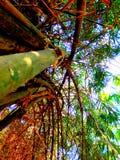 Bamboeboom royalty-vrije stock afbeeldingen
