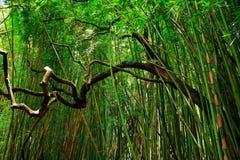 Bamboebos Stock Afbeelding