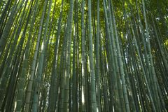 Bamboebos in Kyoto, Japan Stock Afbeelding