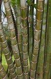 Bamboecluster Royalty-vrije Stock Afbeeldingen