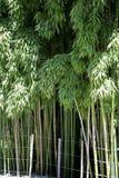 Bamboeinstallatie Stock Foto's