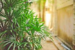 Bamboepalm/areca palmen in tuin als muurachtergrond met royalty-vrije stock afbeelding