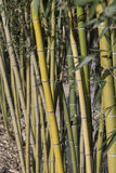 Bamboeriet Royalty-vrije Stock Afbeeldingen