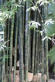 Bamboeriet stock afbeelding